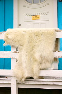 Polar bear (Ursus maritimus)  skin killed by an inuit hunter in Ilulissat, Greenland, July 2008. - Ashley Cooper