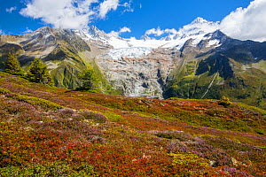 The Aiguillette des Posettes with Bilberry plants colouring up in late summer, above Chamonix, French Alps, and the rapidly retreating Glacier du tour. September 2014. - Ashley Cooper