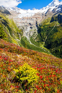 The Aiguillette des Posettes with Bilberry plants colouring up in late summer, above Chamonix, French Alps, and the rapidly retreating Glacier du tour. France, September 2014. - Ashley Cooper