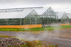Greenhouses growing tomatoes heated by geothermal hot water near Husafell in Iceland. September 2010.  -  Ashley Cooper