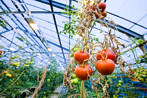Tomatoes growing in greenhouse powered by geothermal heat, Hveragerdi , South West Iceland.  -  Ashley Cooper