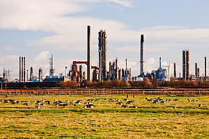Salthome RSPB bird reserve in Billingham, Teeside, UK. Nature surviving in a heavily industrialised landscape. Canada Geese graze in front of a petrochemical works.  -  Ashley Cooper