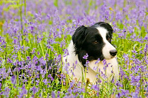 Border Collie dog lieing amongst bluebells in the Lake District, England, UK. May. - Ashley Cooper