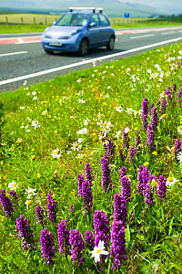 Orchids (Dactylorhiza sp) growing on a roadside verge in Cumbria, England, UK, July.  -  Ashley Cooper