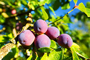 Plums growing in an orchard near Pershore, Vale of Evesham, Worcestershire, UK. - Ashley Cooper