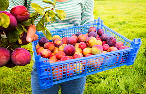 A woman picking Plums growing in an orchard near Pershore, Vale of Evesham, Worcestershire, UK. September 2013.  -  Ashley Cooper