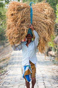 Man carrying Rice crop harvested by hand in the Sunderbans, Ganges Delta, India. 2013 - Ashley Cooper