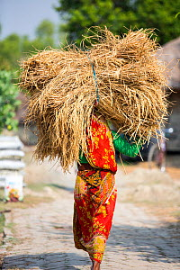Woman carrying Rice crops harvested by hand in the Sunderbans, Ganges Delta, India. - Ashley Cooper