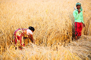 Rice crops harvested by hand in the Sunderbans, Ganges, Delta, India. December 2013. - Ashley Cooper