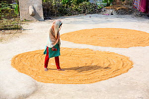 Woman drying her rice crop in the Sunderbans, Ganges, Delta, India. December 2013. - Ashley Cooper