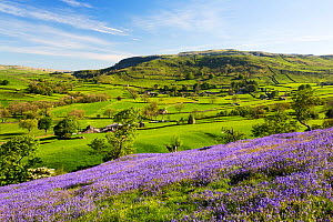 Bluebells growing on a limestone hill in the Yorkshire Dales National Park, UK. May. - Ashley Cooper
