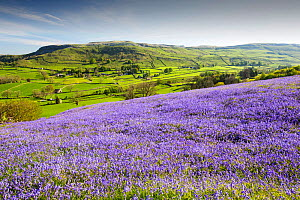 Bluebells growing on a limestone hill in the Yorkshire Dales National Park, UK. - Ashley Cooper