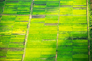 Looking down from the air onto rice paddies in the Shire Valley, Malawi, Africa.  -  Ashley Cooper