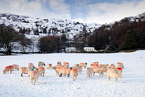 Sheep in a field in Grasmere in snow, Lake District National Park, England, UK, January. - Ashley Cooper