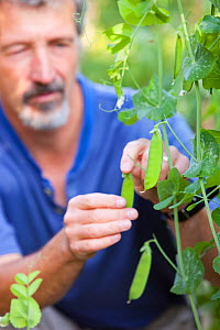 Man growing peas growing in a garden in Ambleside as part of a drive to be self sufficient, UK. August 2009. - Ashley Cooper