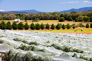 Vineyard with vines covered with netting to protect them  from birds. Buxton Ridge, Victoria, Australia  -  Ashley Cooper