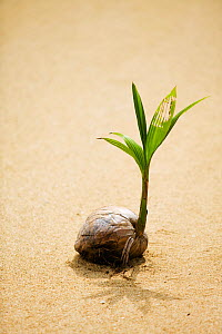 Coconut (Cocos nucifera) sprouting on beach, Fiji. - Ashley Cooper