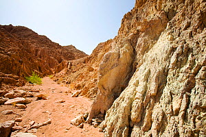 Path through mountains of the Sinai desert with drought resistant wild fig (Ficus) near Dahab in Egypt.  -  Ashley Cooper