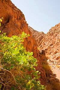 Drought resistant wild fig (Ficus) growing in Sinai desert, Dahab in Egypt.  -  Ashley Cooper