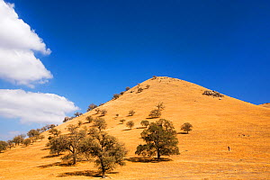 Drought killed trees near Tehachapi Pass, during California's four year long drought, USA. September 2014. - Ashley Cooper