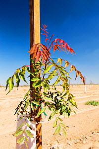 Fruit tree planted during drought which lasted between 2012-2017. Wasco, California, USA, September. - Ashley Cooper