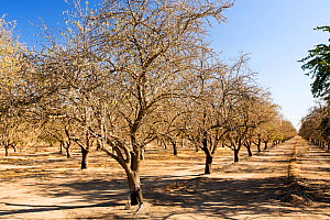 Dead and dying Almond trees in Almond groves in Wasco in the Central Valley of California after the irrigation water ran out following the four year long drought in the Western USA. 80% of the world's...  -  Ashley Cooper