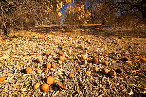 Abandoned dead and dying Orange trees that no longer have water to irrigate them near Bakersfield, during the 2012-2017 California Drought, California, USA. October 2014.  -  Ashley Cooper