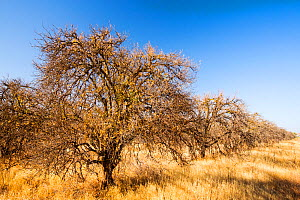 Abandoned dead and dying Orange trees that no longer have water to irrigate them near Bakersfield, California, USA. October 2014.  -  Ashley Cooper