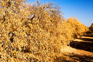 Dying Orange trees that no longer have water to irrigate them during severe drought, near Bakersfield, California, USA, October 2014 - Ashley Cooper