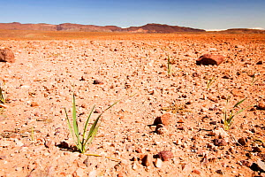 Barley growing during drought, near Berber village in the Anti Atlas mountains of Morocco, North Africa. April 2012. In recent years, rainfall totals have reduced by around 75% as a result of climate...  -  Ashley Cooper