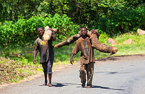 Men carrying timber illegally logged off the Zomba Plateau, Malawi. March 2015. - Ashley Cooper