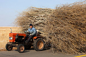 Chinese farmers hauling a huge wide load of wood using a tiny tractor in Heilongjiang province, Northern China. March 2009.  -  Ashley Cooper