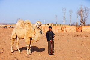 Mongolian man leads his camel across what was the former lake bed during severe drought, Inner Mongolia, China, March 2009.  -  Ashley Cooper