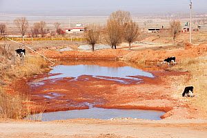 Village water supply runs dangerously low during severe drought, with cows grazing nearby, Shanxi Province, China. March 2009.  -  Ashley Cooper