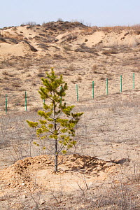 Tree planted to prevent desertification during severe drought, Inner Mongolia, China. March 2009. - Ashley Cooper