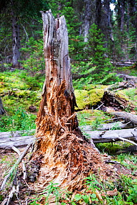 Rotting tree stump in forest in Johnsons Canyon in the Banff National Park, Canadian Rockies, Canada, August 2012.  -  Ashley Cooper