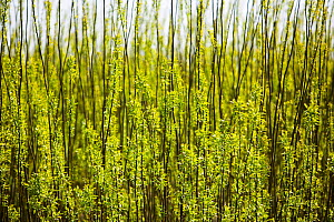 E.ON's biofuel power station in Lockerbie, Scotland with Willow trees (Salix sp,) planted as a biofuel crop. The power station is fuelled 100 by wood sourced from local woodlands and generates enough... - Ashley Cooper
