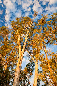 Red gum trees (Eucalyptus camaldulensis) growing along the banks of the Murray River. During the drought 1996-2011  75% of the Red gums are either dead or dying. Victoria, Austria, February. - Ashley Cooper