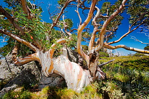 Snow Gum trees in the Snowy Mountains, Australia. February 2010. These hardy Eucalyptus trees grow very slowly around 5000 feet in the mountains. - Ashley Cooper