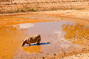 Cow drinking from nearly dried up watering hole on a farm near Shepperton, Victoria, Australia. Victoria and New South Wales suffered a drought which lasted between 1996-2011. February 2010.  -  Ashley Cooper