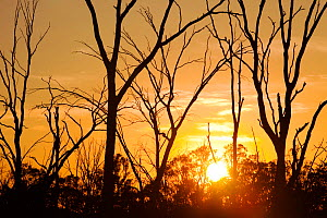 Red Gum trees are iconic Australian trees that grow along the banks of the Murray River. They rely on a regular flood cycle to survive. The unprecedented drought of the last 15 years has lead to low r... - Ashley Cooper