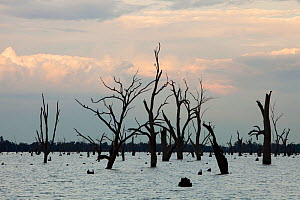 Lake Mulwala at Yarrawonga was created when the Murray River was dammed to provide irrigation water for surrounding farmland. The drought which lasted between 1996-2011 meant that the trees that were... - Ashley Cooper