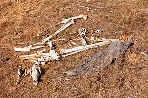 Kangaroos skeleton which died during drought which lasted from 1996-2011. Victoria, Australia, February.  -  Ashley Cooper