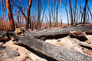 Forest destroyed by bush fires in December 2009. near Michelago, New South Wales, Australia, February 2010.  -  Ashley Cooper