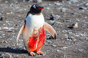 Gentoo penguin (Pygoscelis papua) with  huge wound, probably from  Leopard seal  (Hydrurga leptonyx) attack,  Hannah Point, Livingstone Island, South Shetland Islands, Antarctica.  -  Ashley Cooper