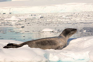 Leopard seal (Hydrurga leptonyx) hauled out on an iceberg in the Drygalski Fjord, Antarctic Peninsula.  -  Ashley Cooper