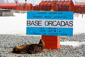 Antarctic fur seals (Arctocephalus gazella) at Base Orcadas which is an Argentine scientific station in Antarctica. Laurie Island,  South Orkney Islands, Antarctic Peninsula.  -  Ashley Cooper