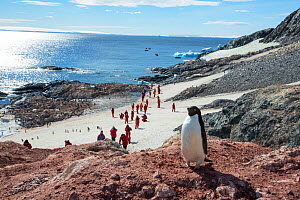 Adelie penguins (Pygoscelis adeliae) with tourists walking past the colony, Madder Cliffs, Joinville Island, Antarctica. - Ashley Cooper