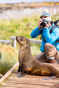 Wildlife photographer taking pictures of Antarctic Fur Seal (Arctocephalus gazella) female on Prion Island, South Georgia, Southern Ocean.  -  Ashley Cooper
