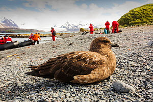 Brown skua (Stercorarius antarcticus) on the beach on Prion Island, South Georgia, Southern Ocean. - Ashley Cooper